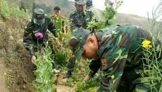 Hơn 1.000 cây thuốc phiện nở hoa trong vườn cải