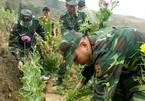 Hơn 1.000 cây thuốc phiện nở hoa rực rỡ trong vườn cải
