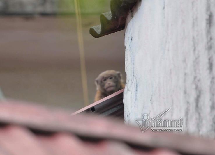 Khỉ hoang,Hà Nội,khu dân cư náo loạn