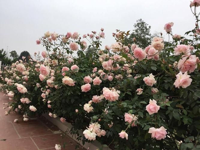 Hoa hồng,ngôi nhà hoa hồng,cây cảnh,trang trí nhà