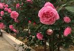 """Vườn hồng """"cả trời thương nhớ"""" của mẹ 7X như gái đôi mươi"""