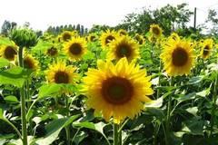 Mùa xuân, bắt tay trồng hoa hướng dương để vườn nhà cả năm luôn rực rỡ