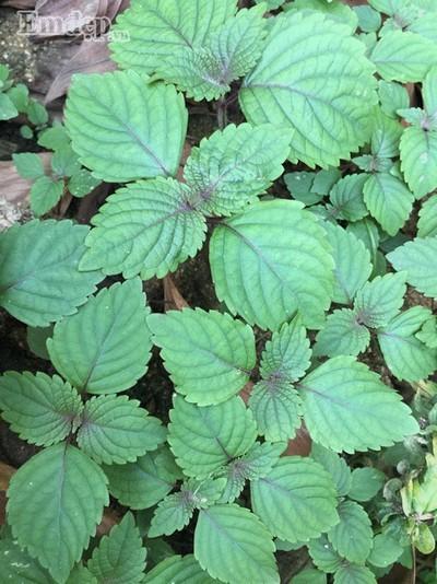 Ngắm vườn rau 16m2 tươi tốt 'vạn người mê' của cô giáo Hà Nam