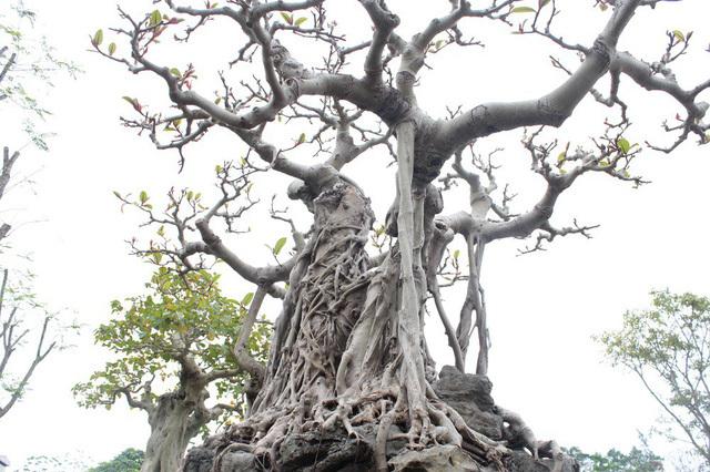 Đa cổ trăm tuổi mọc trên đá và cuộc ngã giá 10 cây vàng của đại gia