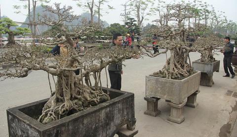 cây sanh tiền tỷ