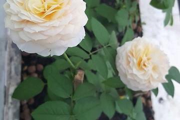 Ban công chung cư chỉ 10m2 phủ kín hoa thơm của cô nàng Sài thành