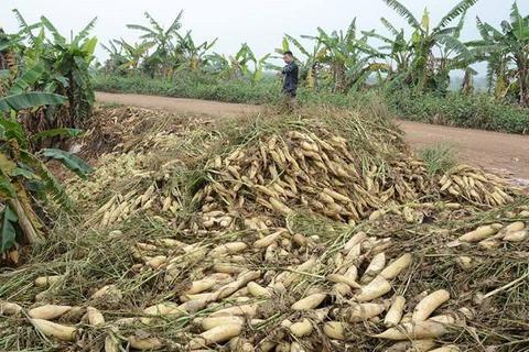 500 đồng/1kg củ cải không ai mua, người dân đổ hàng chục tấn xuống sông Hồng - ảnh 1