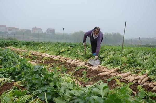 Xót xa: Nông dân đổ hàng chục tấn củ cải xuống sông Hồng