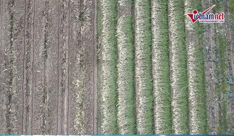 Vì sao hàng nghìn tấn củ cải đang bị vứt trắng đồng?