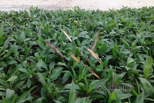 Bãi chông nhọn hoắt, tua tủa giữa vườn hoa Hà Nội