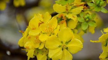 Hoa Anh đào và Mai vàng sẽ khoe sắc tại Yên Tử