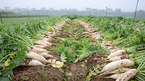 Hà Nội họp khẩn 'giải cứu' nghìn tấn củ cải ế