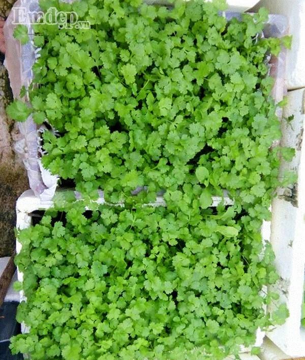 Vườn rau 16m2 xanh mướt của mẹ đảm ở thành phố biển