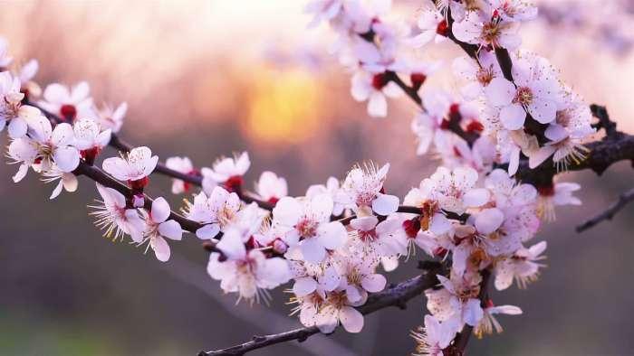 Người Hà Nội sắp được ngắm 10.000 cành hoa Anh Đào