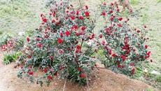 Chàng trai kêu oan vì bị nghi trộm cây hồng cổ 20 năm tuổi