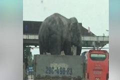 Hãi hùng nhìn xe tải chở... voi chạy băng băng trên quốc lộ 1A