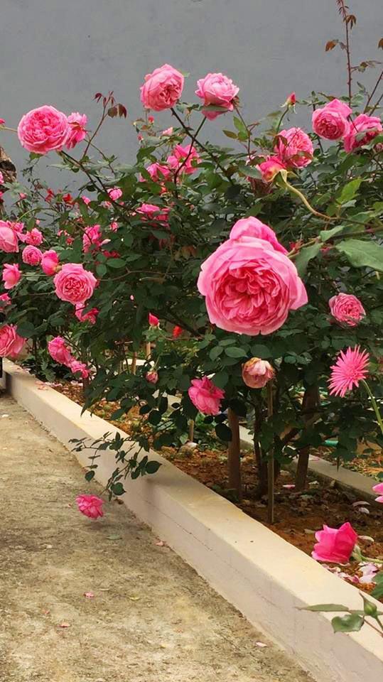 4 mẹo cực dễ để sở hữu vườn hồng 'chất lừ' của mẹ 7x Thủ đô