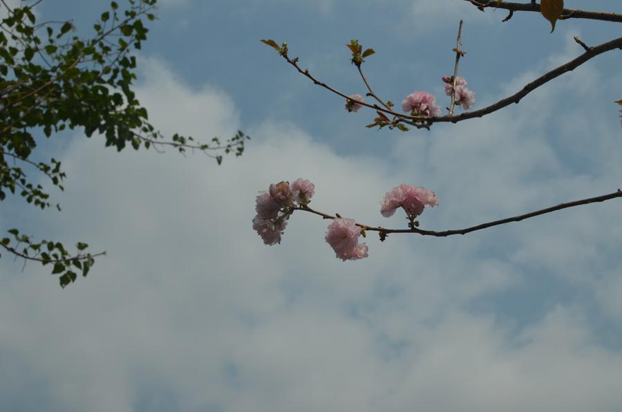 Hoa đào, hoa mai đẹp chưa từng có tại Yên Tử