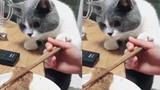 """Chết cười với cách """"xin ăn"""" của chú mèo thông minh"""