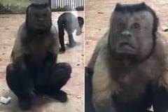 Dân mạng phát sốt với chú khỉ mặt giống người
