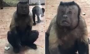 khỉ mặt người