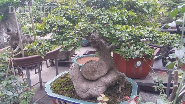 Cây duối bonsai 40 tuổi, gốc cực dị được trả 300 triệu