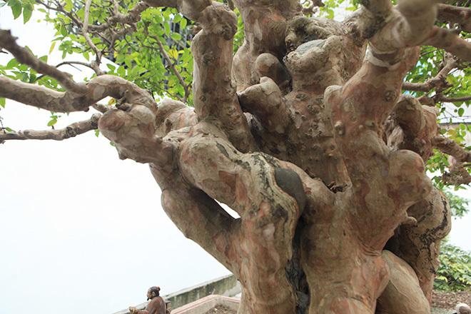 Chiêm ngưỡng bằng lăng cổ thụ hình nấm 'siêu độc' của đại gia Phú Thọ