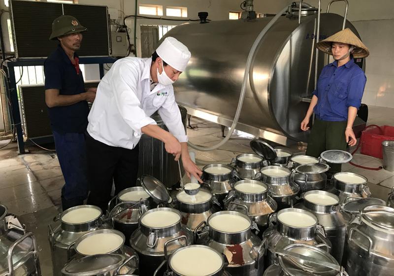 nuôi bò,nuôi bò sữa,tỷ phú bò sữa,nông dân nuôi bò sữa,mộc châu,bò sữa mộc châu