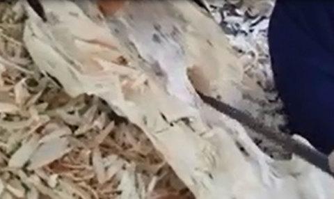 """Kỳ lạ nghề moi ruột cây tìm """"vàng"""" ở xứ trầm Khánh Hòa"""