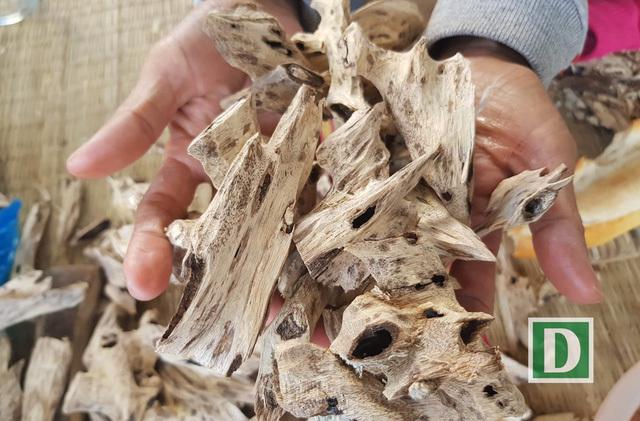 """Kỳ lạ nghề moi ruột cây tìm """"vàng"""" ở xứ trầm hương"""