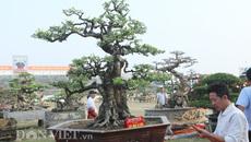Khế cổ thụ 'kết mộc vi sơn' hiếm có ở Việt Nam giá 6 tỷ đẹp cỡ nào?