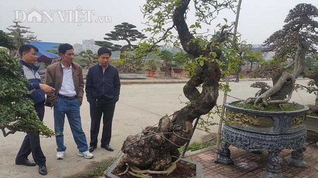 Cây hoa giấy 50 tuổi thế song siêu được rao 70 triệu