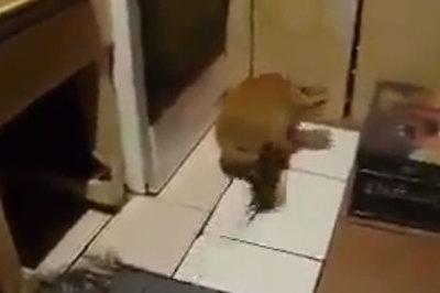 Mèo hốt hoảng chạy thục mạng khi bị... chuột tấn công