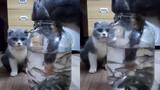 Anh mèo ga lăng xả thân bắt cá tặng... bạn gái