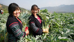 Trồng cây thuốc quý: Cả làng đổi đời, mua két cất tiền