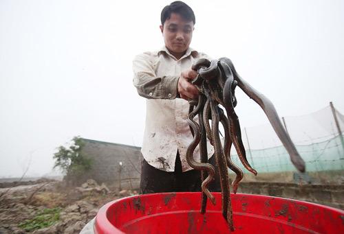 nuôi rắn,nông dân làm giàu