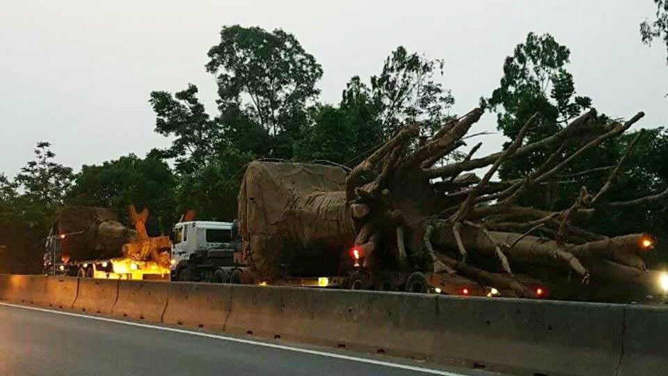 Bị phạt gần 100 triệu vì chở cây 'quái thú', DN nhờ nhà chùa san sẻ