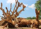 Nhóm người lạ đến nhận 3 cây 'quái thú' vứt bên đường