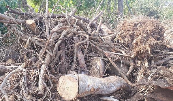 CSGT,Kiểm lâm,Đắk Lắk,cây quái thú