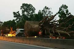 Yêu cầu Bộ Công an, GTVT làm rõ vụ xe chở cây 'quái thú'
