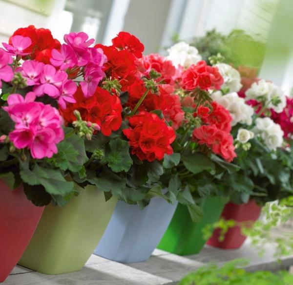 5 loại hoa vừa đẹp lại có công dụng đuổi muỗi 'xuất sắc' nên trồng ngay trong nhà
