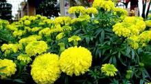 """5 loại hoa vừa đẹp lại có công dụng đuổi muỗi """"xuất sắc"""" nên trồng ngay trong nhà"""