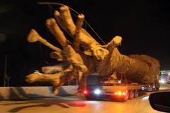Nhờ đâu 3 cây đa sộp 'quái thú' lọt cửa Đắk Lắk?