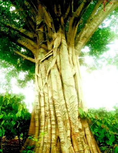 cây quái thú,kiểm lâm,CSGT