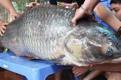 Săn con cá trắm đen quý hiếm: Nặng 60kg, trăm năm có 1