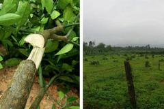 Độc ác: Gần 200 cây bưởi Phúc Trạch bị chặt ngang gốc trong đêm