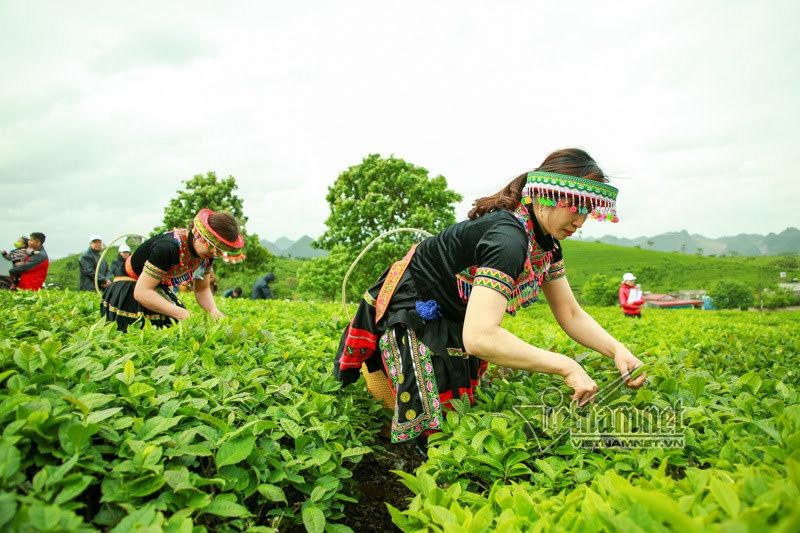 Sơn nữ Mộc Châu: Chuyện khó tin trên đồi chè