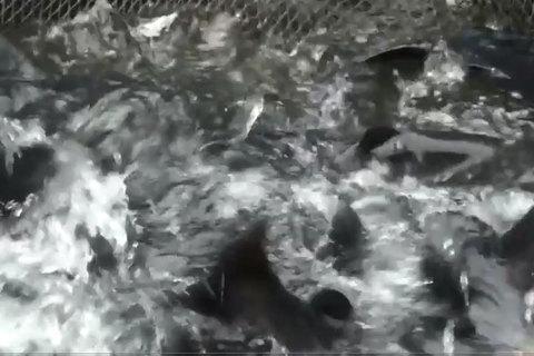 Lão nông nuôi hàng ngàn con cá lăng trên núi kiếm 3 tỷ mỗi năm