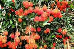 Chôm chôm Việt lần đầu tiên xuất khẩu sang New Zealand