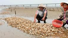 Hà Tĩnh: Dân cay đắng ngồi nhìn nghêu chết trắng bãi
